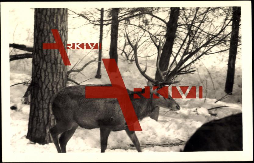 Hirsch mit großen Geweih im Winter, Schnee