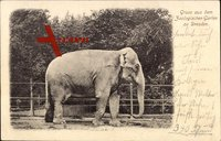 Dresden, Zoologischer Garten, Elefant im Gehege