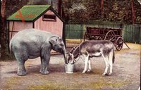 Kleiner Elefant und ein Esel trinken aus einem Eimer im Zoo um 1906