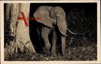 Elefant tritt aus dem Gebüsch, Afrika, Stoßzähne, Rüssel, Ohren