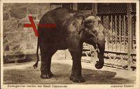 Hannover, Zoologischer Garten, Indischer Elefant im Gehege