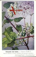 Clématie des haies, Clématis Vialba L., Rameau florifère et fructifère