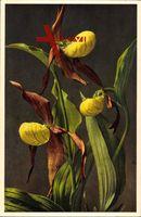 Ansicht der Frauenschuh Pflanze, Cypripedium calcéolus