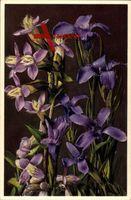 Pflanze Feld Enzian, Gewimperter Enzian, Gentiana campestris