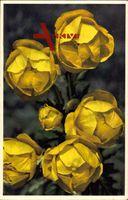 Trollblume, Trollius europaeus, gelbe Blüten