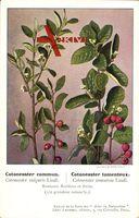 Cotoneaster commun, Cotoneaster tomenteux, Beeren