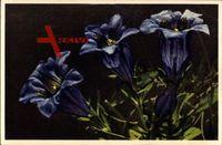 Stengelloser Enzian, Genfiana acaúlis, lila Blüten