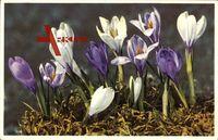 Crocus vernus, lila und weiße Blüten öffnen sich