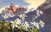 Edelweiß, Leonpodium alpinum, Berggewächs, Weiße Blüten