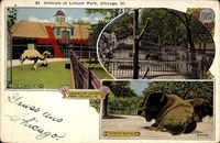 Chicago Illinois, Animals at Lincoln Park, Kamele und Elefant im Gehege