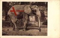 Frankfurt Main, Zoologischer Garten, Afrikanischer Elefant Bachita