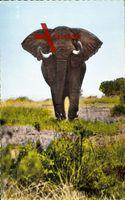 Faune Africaine, Eléphant prêt à charger, Afrikanischer Elefant