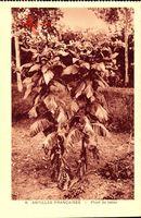 Antilles Francaises, Plant de Tabac, Tabakpflanze
