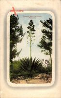 Bermuda, Century plant in bloom, Jahrhundertpflanze, Agavoideae