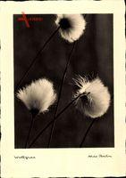Wollgras, Eriophorum, Sauergrasgewächs, Max Baur Nr 11