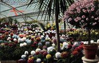 Frankfurt Main, Inneres vom Palmengarten, Chrisantemum im Blütenflor