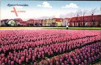 Hyacinthenvelden, Blumenfeld, Rosa Blüten, Anbaufeld