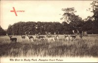 London, Hampton Court Palace, The Deer in Bushy Park, Hirsche