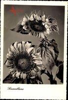 Zwei Sonnenblumen, Helianthus annuus, Sonnenblumenkerne