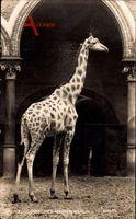 Berlin Charlottenburg, Zoologischer Garten, Giraffe im Gehege, NPG