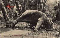 Ceylon Sri Lanka, A struggling Elefant, Angefesselter Elefant