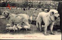 Les Pyrénées, Chiens des Pyrénées, Intéressante Famille