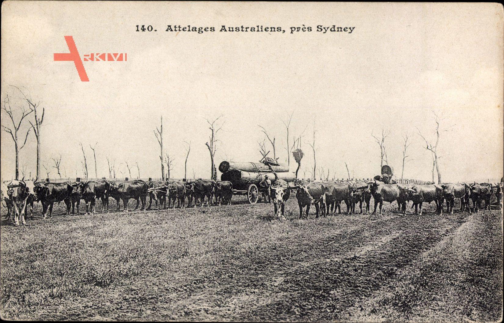 Sydney Australien, Attelages Australiens, Baumstammtransport, Kühe