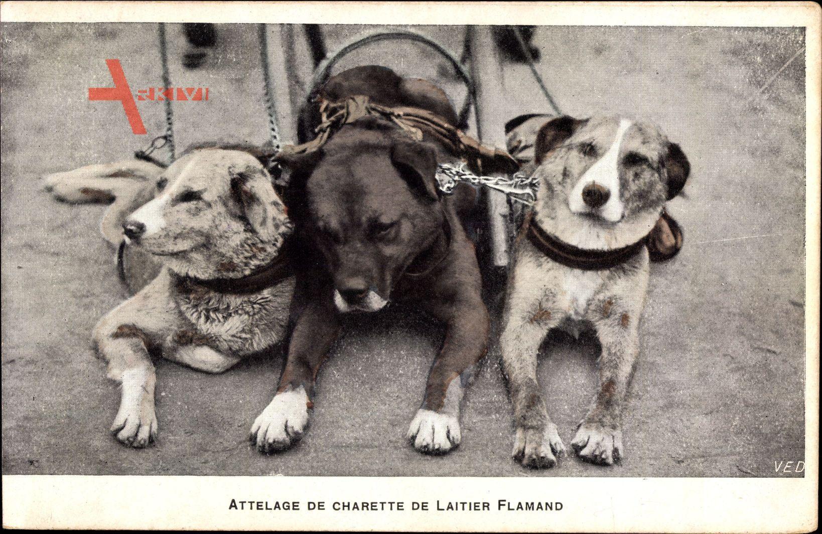 Attelage de Charette de Laitier Flamand, Zughunde, Flämischer Milchwagen