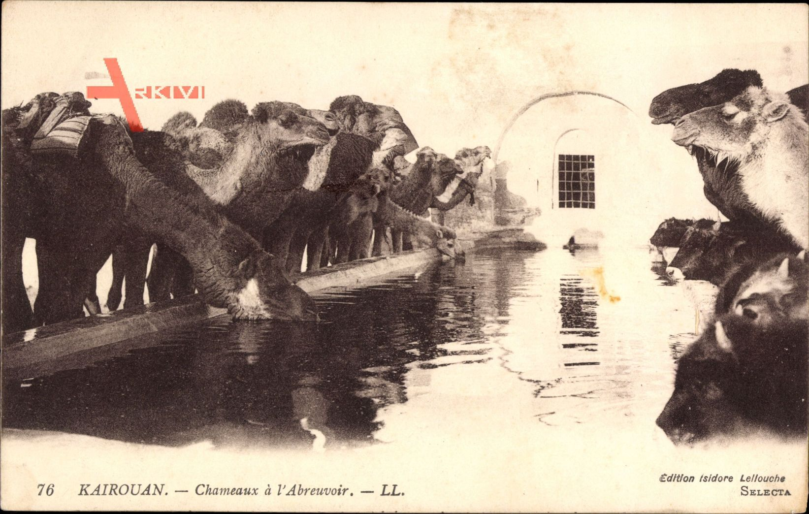 Kairouan Tunesien, Chameaux à lAbreuvoir, Kamele trinken