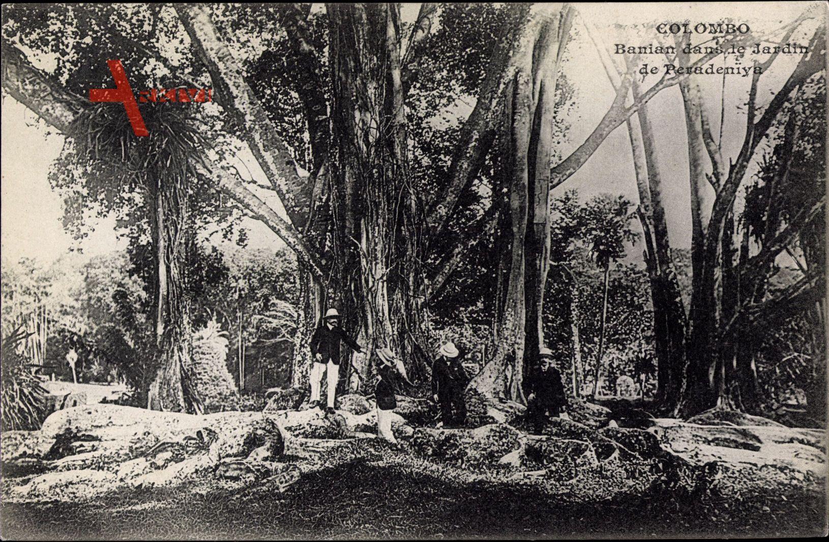Colombo Ceylon Sri Lanka, Banian dans le jardin de Peradeniya