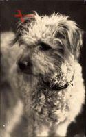 Hundeportrait, Terrier, Weißes Fell, Hundehalsband