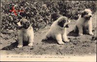 Petits Chiens de Montagne, Du Chenil Club dArgelès, Hundewelpen