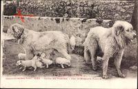 Les Pyrénées, Chiens des Pyrénées, Une intéressante Famille, Hundewelpen