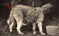 Hundeportrait, Weißes Fell, Frankreich, Rassehund