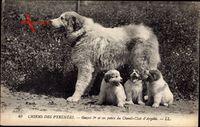 Chiens des Pyrénées, Gazost 1er et ses petits du Chenil Club dArgelès