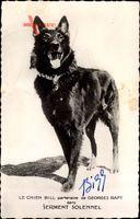 Le Chien Bill partenaire de Georges Raft dans Serment Solennel, Hund