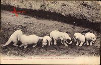 Chiens des Pyrénées, Une Portée de 8 Jours, Hundewelpen