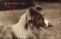 Im Real Scoth, Ye Ken, Collie, Hundeportrait, EAS 0269 4
