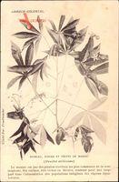 Jardin Colonial, Rameau, Fleurs et Friuits de Manioc, Manihot utilissima