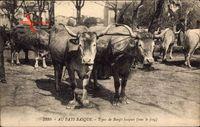 Au Pays Basque, Types de Boeufs basques, sous le joug, Rinder