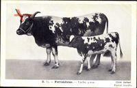 Ferrandaise, Vache, 4 ans, gefleckte Kuh mit Kalb, Hörner