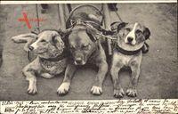 Belgien, Belgique, Attelage de chiens, Zughunde, Dreiergespann