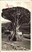 Teneriffa Kanarische Inseln Spanien, El Drago de Icod, Drachenbaum